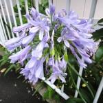 [Photo] 通勤路の花々